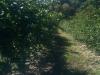 blackberry-bushes-100310