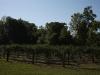 blackberry-field-3
