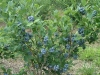 blueberry-bush-2