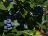 blueberries-ripening