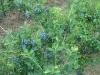 blueberry-bush