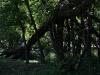 fallen-tree-along-creek-bank