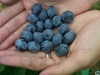 handful-of-fresh-picked-blueberries