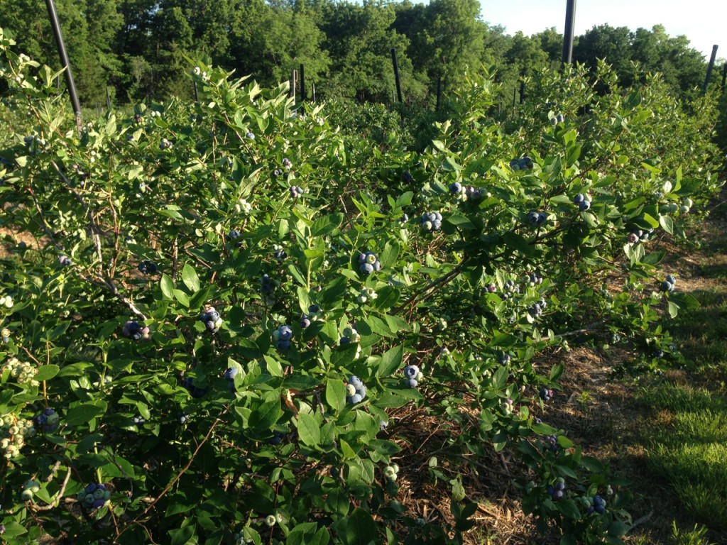 6.09.13 Blueberries Pic 2
