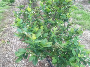 April 2015 Blueberries - 1