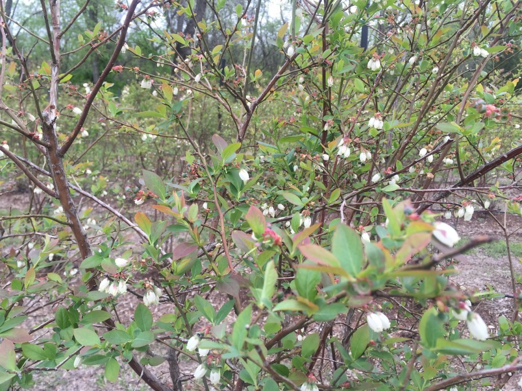 April 2015 Blueberries - 2